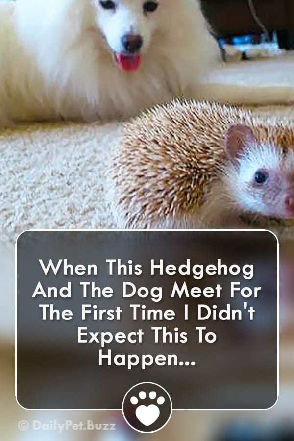 When This Hedgehog And The Dog Meet For The First Time I Didn\'t Expect This To Happen...