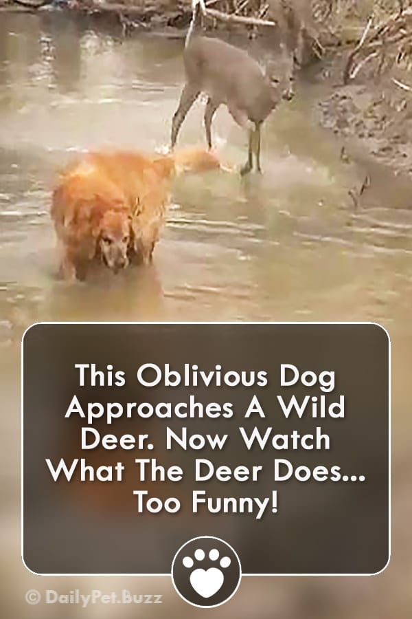 This Oblivious Dog Approaches A Wild Deer. Now Watch What The Deer Does... Too Funny!
