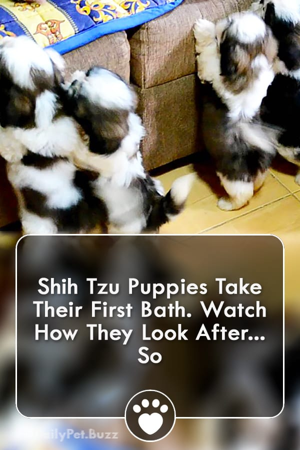 Shih Tzu Puppies Take Their First Bath. Watch How They Look After... So