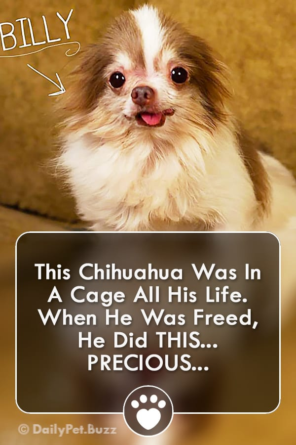 This Chihuahua Was In A Cage All His Life. When He Was Freed, He Did THIS... PRECIOUS...