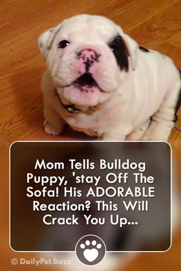 Mom Tells Bulldog Puppy, \'stay Off The Sofa! His ADORABLE Reaction? This Will Crack You Up...