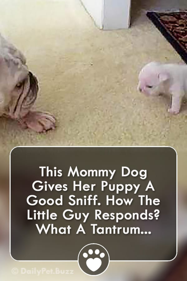 This Mommy Dog Gives Her Puppy A Good Sniff. How The Little Guy Responds? What A Tantrum...
