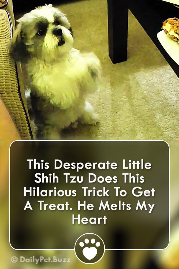This Desperate Little Shih Tzu Does This Hilarious Trick To Get A Treat. He Melts My Heart