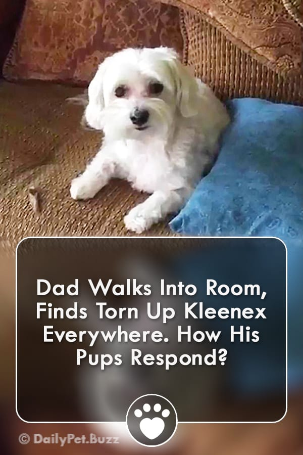 Dad Walks Into Room, Finds Torn Up Kleenex Everywhere. How His Pups Respond?