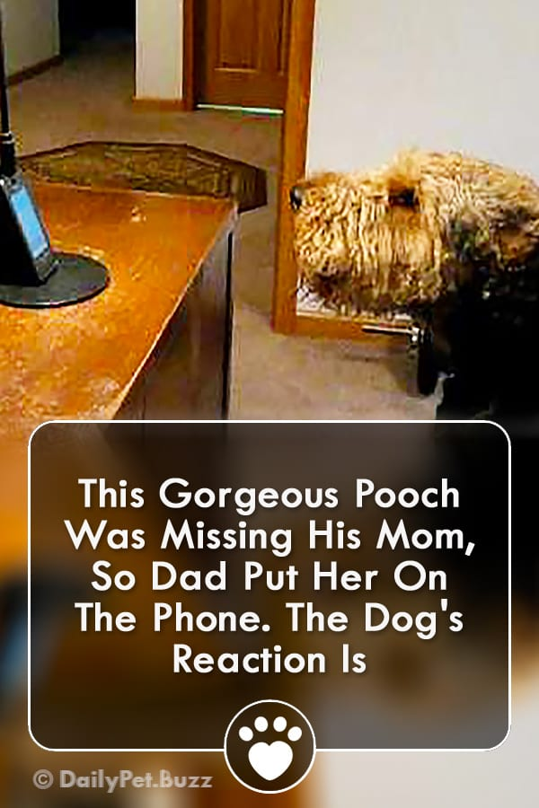 This Gorgeous Pooch Was Missing His Mom, So Dad Put Her On The Phone. The Dog\'s Reaction Is