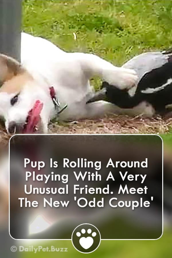 Pup Is Rolling Around Playing With A Very Unusual Friend. Meet The New \'Odd Couple\'