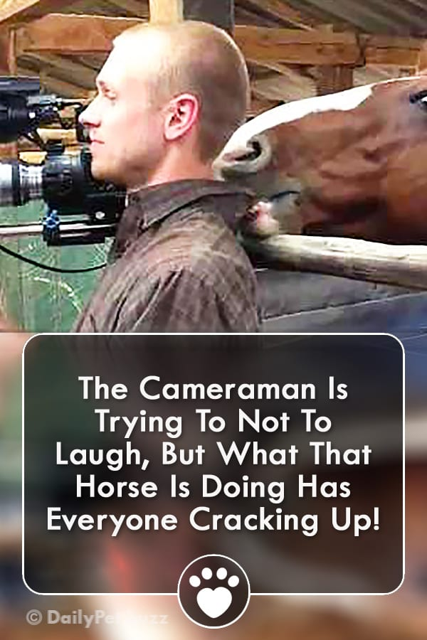 The Cameraman Is Trying To Not To Laugh, But What That Horse Is Doing Has Everyone Cracking Up!