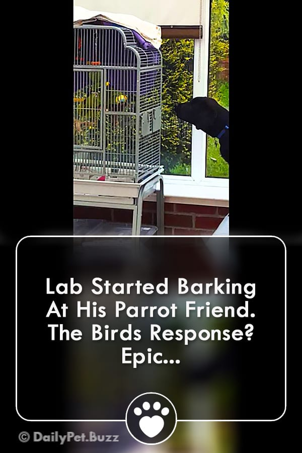 Lab Started Barking At His Parrot Friend. The Birds Response? Epic...