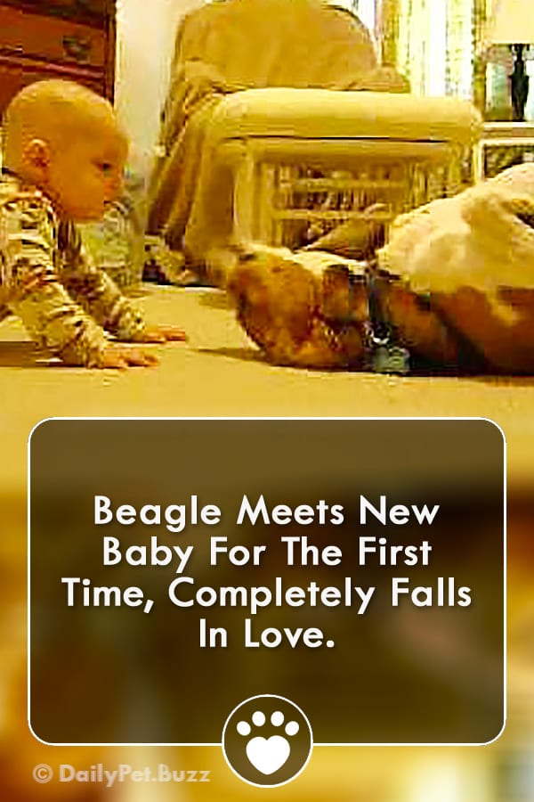Beagle Meets New Baby For The First Time, Completely Falls In Love.