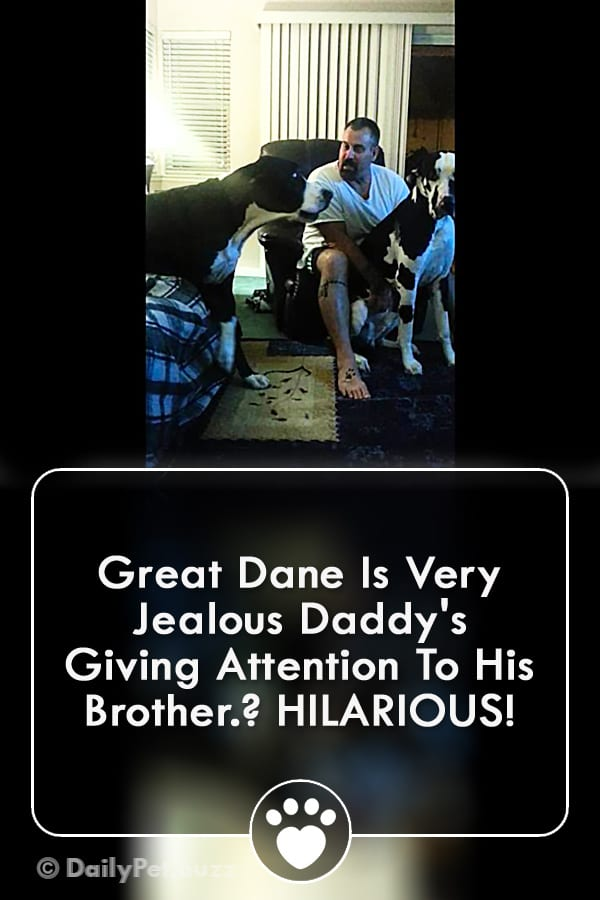 Great Dane Is Very Jealous Daddy\'s Giving Attention To His Brother? HILARIOUS!
