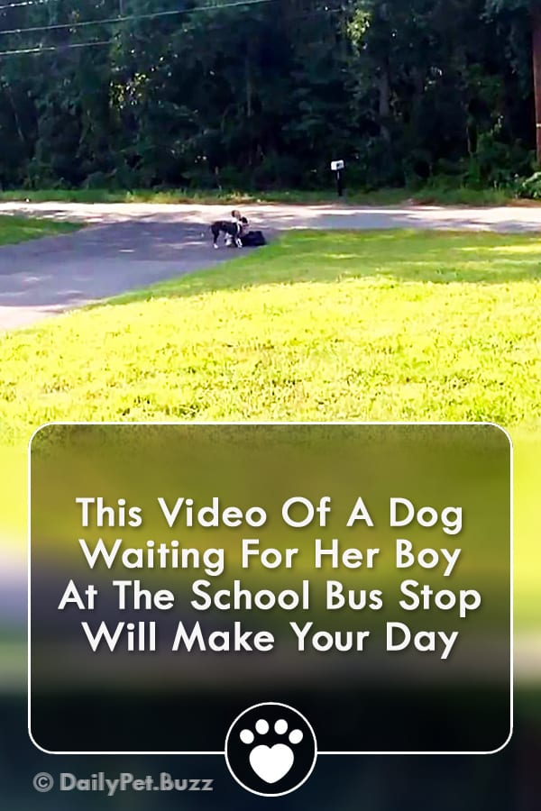 This Video Of A Dog Waiting For Her Boy At The School Bus Stop Will Make Your Day