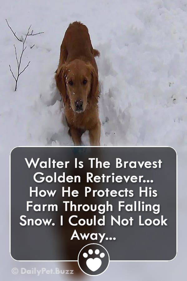 Walter Is The Bravest Golden Retriever... How He Protects His Farm Through Falling Snow. I Could Not Look Away...
