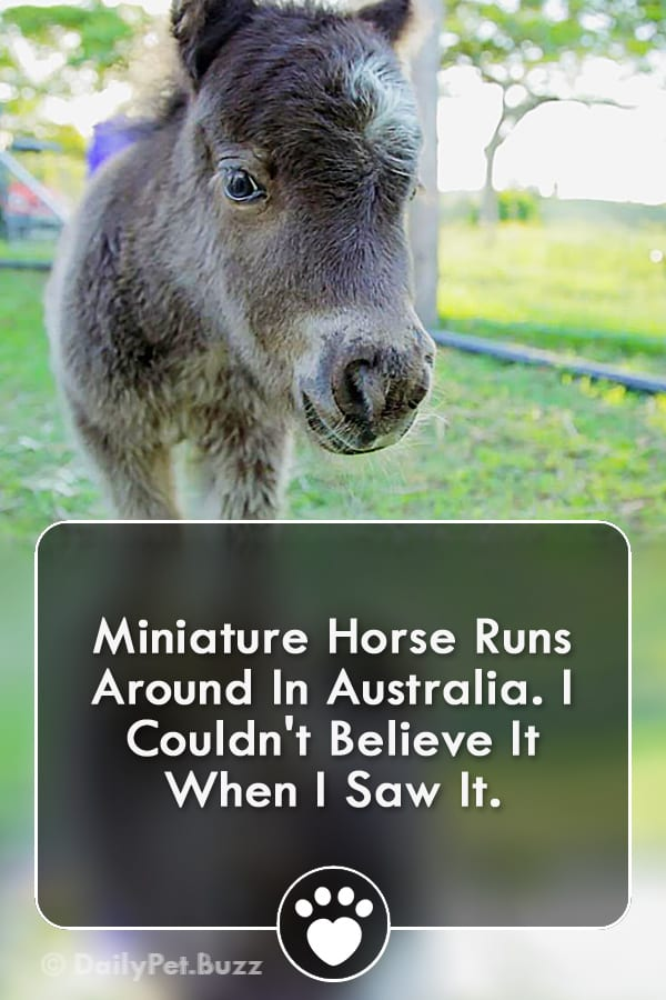 Miniature Horse Runs Around In Australia. I Couldn\'t Believe It When I Saw It.