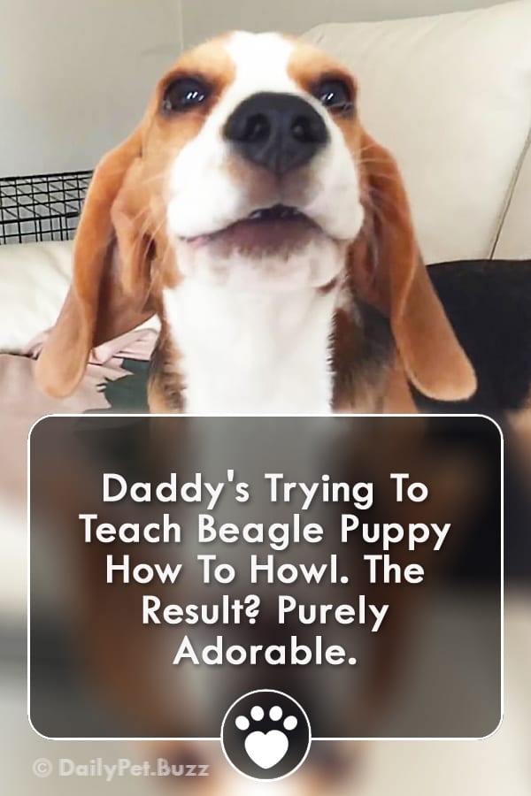 Daddy\'s Trying To Teach Beagle Puppy How To Howl. The Result? Purely Adorable.
