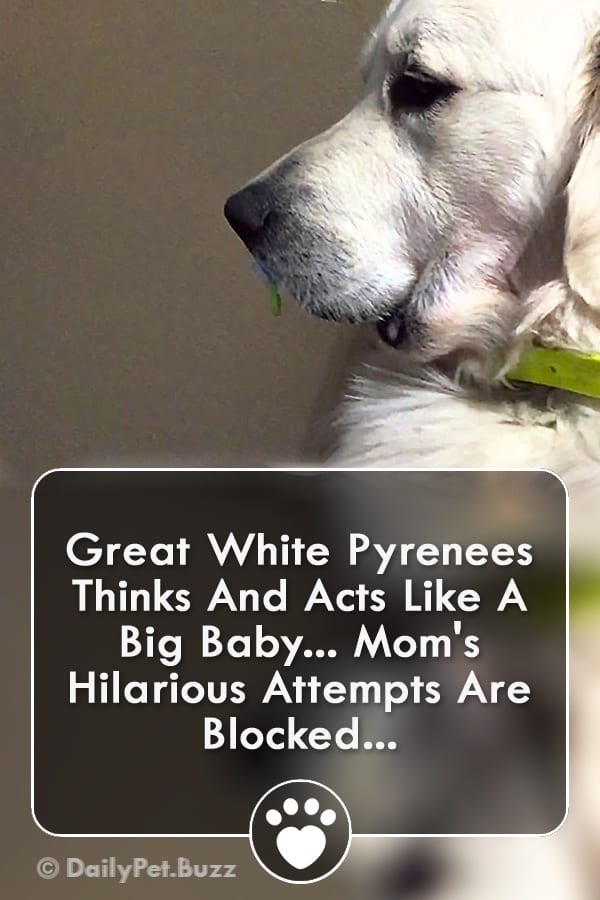 Great White Pyrenees Thinks And Acts Like A Big Baby... Mom\'s Hilarious Attempts Are Blocked...