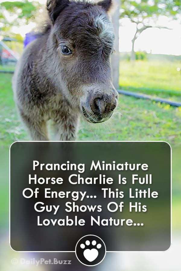 Prancing Miniature Horse Charlie Is Full Of Energy... This Little Guy Shows Of His Lovable Nature...