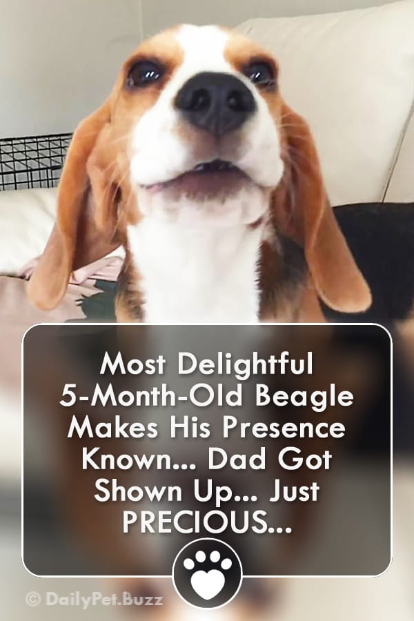 Most Delightful 5-Month-Old Beagle Makes His Presence Known... Dad Got Shown Up... Just PRECIOUS...