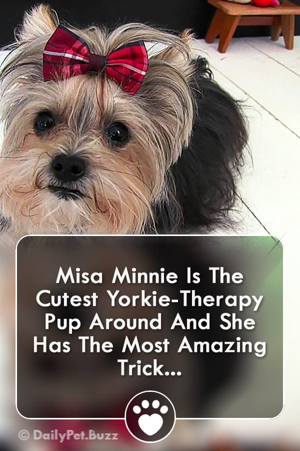 Misa Minnie Is The Cutest Yorkie-Therapy Pup Around And She Has The Most Amazing Trick...