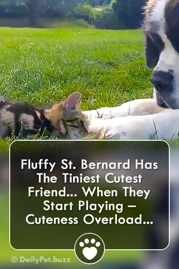 Fluffy St. Bernard Has The Tiniest Cutest Friend... When They Start Playing – Cuteness Overload...