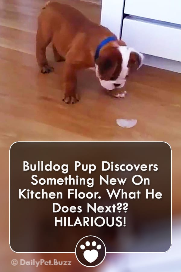 Bulldog Pup Discovers Something New On Kitchen Floor. What He Does Next?? HILARIOUS!