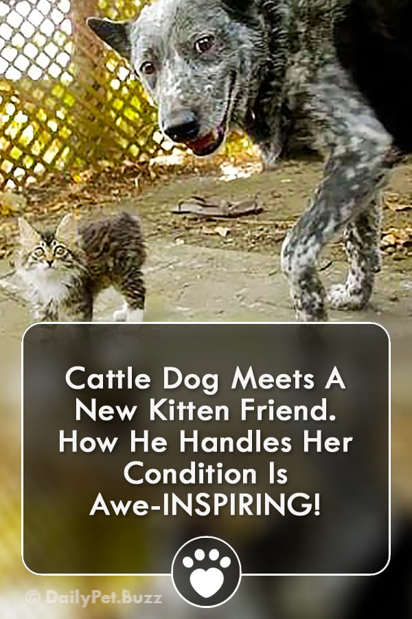 Cattle Dog Meets A New Kitten Friend. How He Handles Her Condition Is Awe-INSPIRING!
