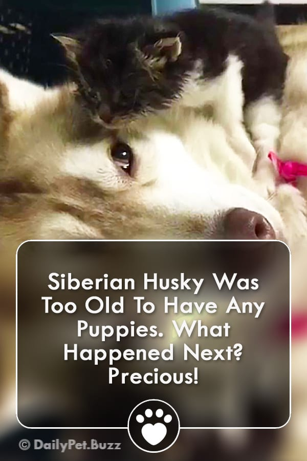 Siberian Husky Was Too Old To Have Any Puppies. What Happened Next? Precious!