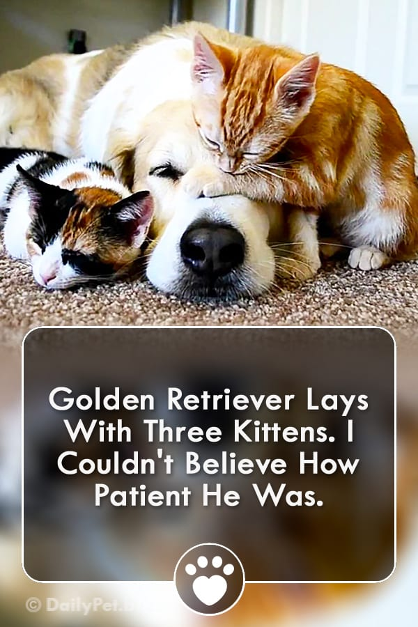 Golden Retriever Lays With Three Kittens. I Couldn\'t Believe How Patient He Was.