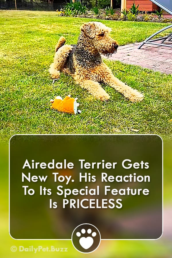 Airedale Terrier Gets New Toy. His Reaction To Its Special Feature Is PRICELESS
