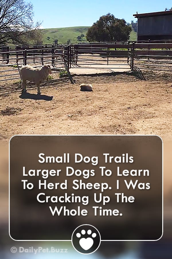 Small Dog Trails Larger Dogs To Learn To Herd Sheep. I Was Cracking Up The Whole Time.