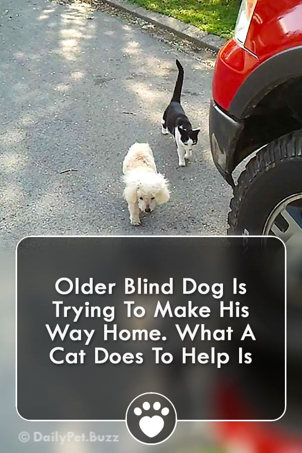 Older Blind Dog Is Trying To Make His Way Home. What A Cat Does To Help Is