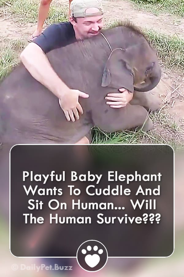Playful Baby Elephant Wants To Cuddle And Sit On Human... Will The Human Survive???