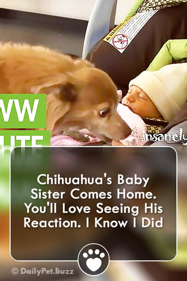 Chihuahua\'s Baby Sister Comes Home. You\'ll Love Seeing His Reaction. I Know I Did