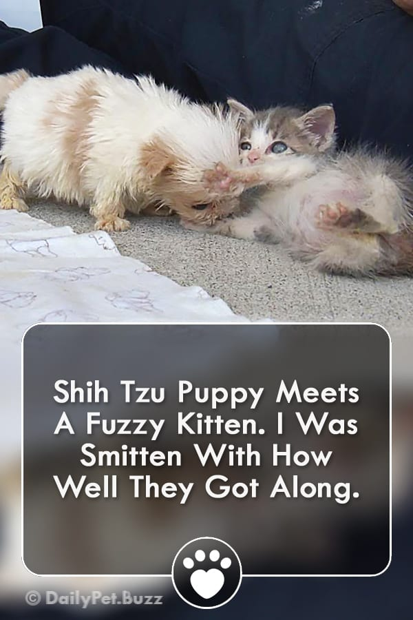 Shih Tzu Puppy Meets A Fuzzy Kitten. I Was Smitten With How Well They Got Along.