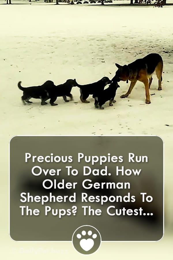 Precious Puppies Run Over To Dad. How Older German Shepherd Responds To The Pups? The Cutest...