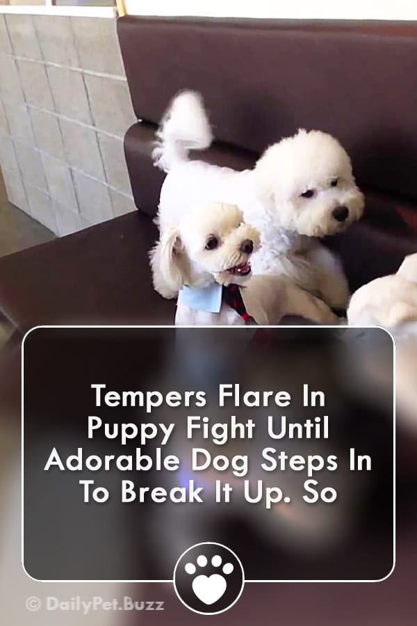 Tempers Flare In Puppy Fight Until Adorable Dog Steps In To Break It Up. So
