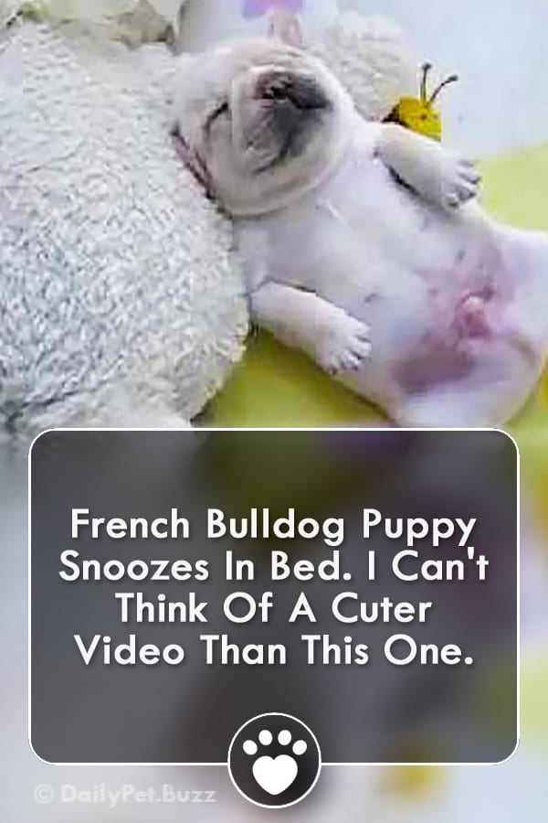French Bulldog Puppy Snoozes In Bed. I Can\'t Think Of A Cuter Video Than This One.