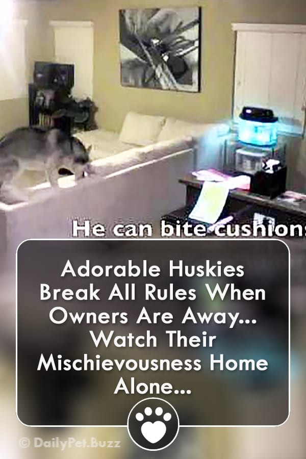 Adorable Huskies Break All Rules When Owners Are Away... Watch Their Mischievousness Home Alone...