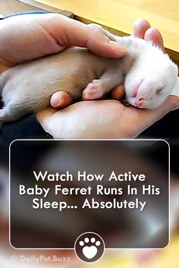 Watch How Active Baby Ferret Runs In His Sleep... Absolutely