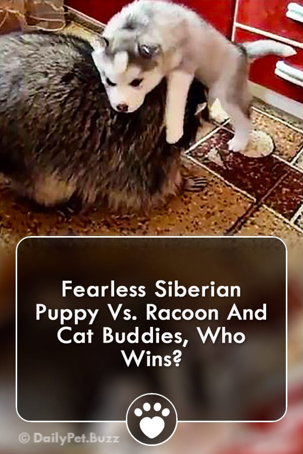 Fearless Siberian Puppy Vs. Racoon And Cat Buddies, Who Wins?