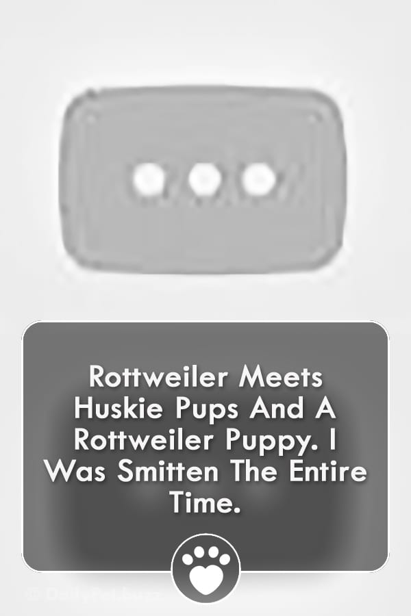 Rottweiler Meets Huskie Pups And A Rottweiler Puppy. I Was Smitten The Entire Time.