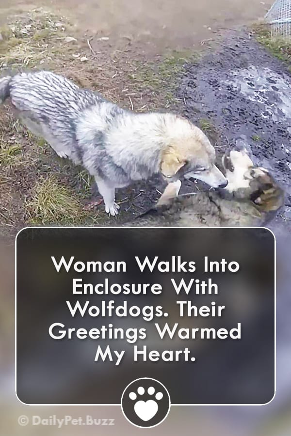 Woman Walks Into Enclosure With Wolfdogs. Their Greetings Warmed My Heart.