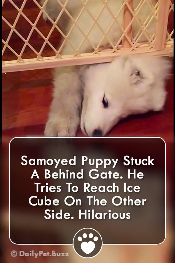 Samoyed Puppy Stuck A Behind Gate. He Tries To Reach Ice Cube On The Other Side. Hilarious