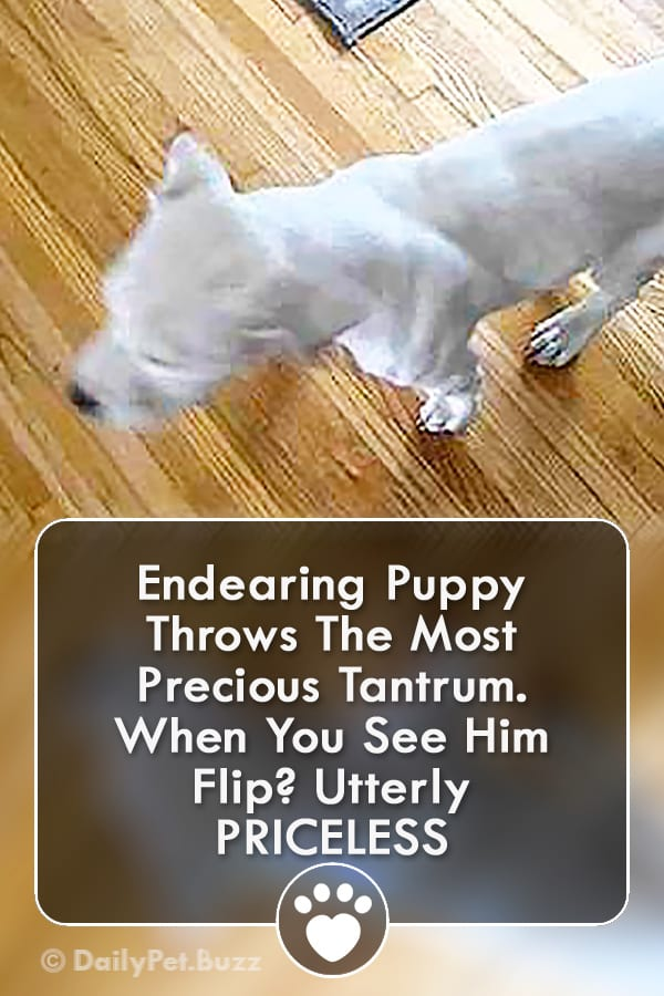 Endearing Puppy Throws The Most Precious Tantrum. When You See Him Flip? Utterly PRICELESS