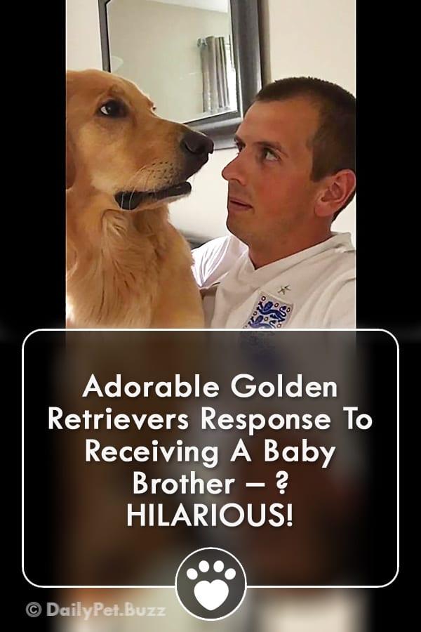 Adorable Golden Retrievers Response To Receiving A Baby Brother – ? HILARIOUS!