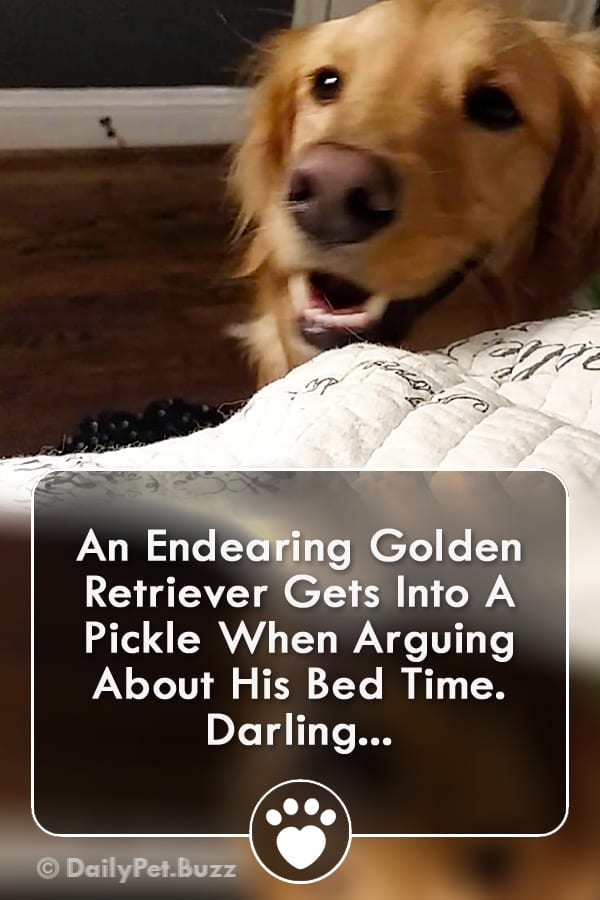 An Endearing Golden Retriever Gets Into A Pickle When Arguing About His Bed Time. Darling...