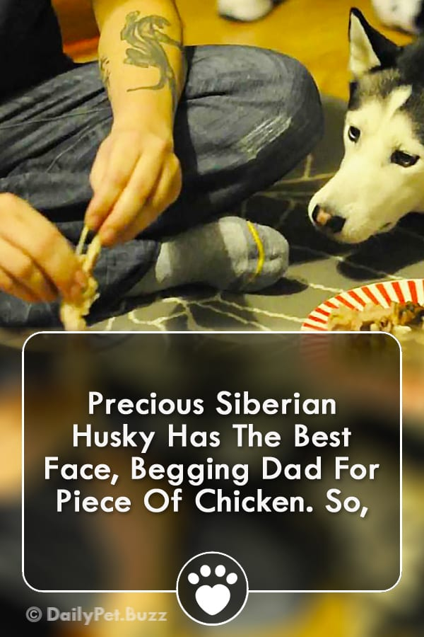 Precious Siberian Husky Has The Best Face, Begging Dad For Piece Of Chicken. So,