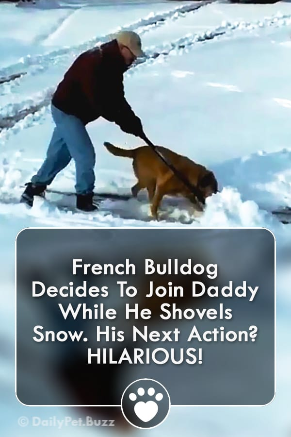 French Bulldog Decides To Join Daddy While He Shovels Snow. His Next Action? HILARIOUS!