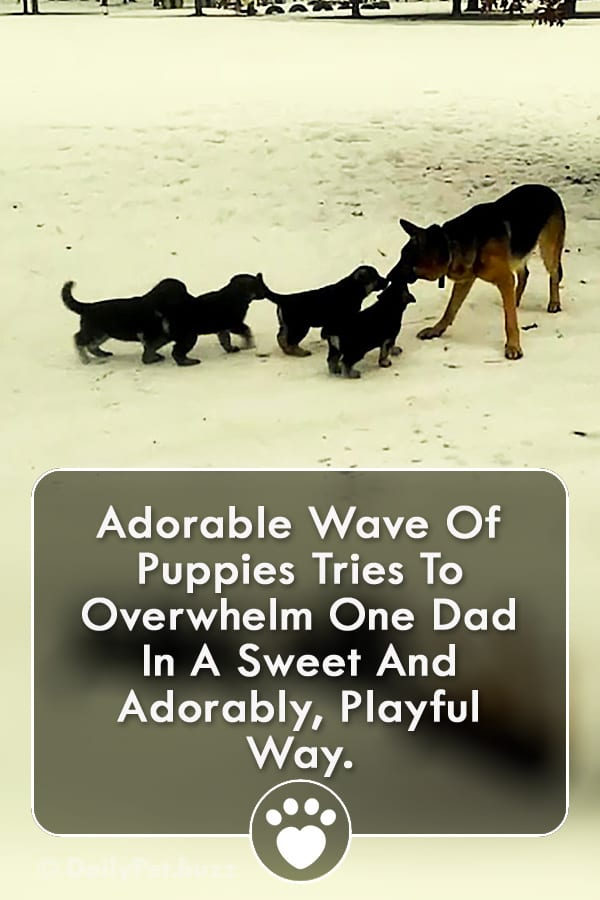 Adorable Wave Of Puppies Tries To Overwhelm One Dad In A Sweet And Adorably, Playful Way.