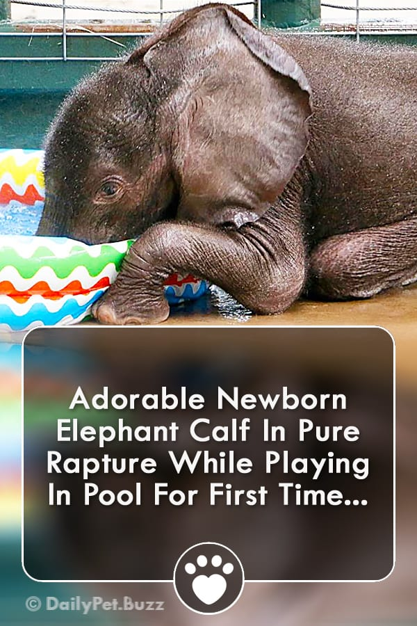 Adorable Newborn Elephant Calf In Pure Rapture While Playing In Pool For First Time...