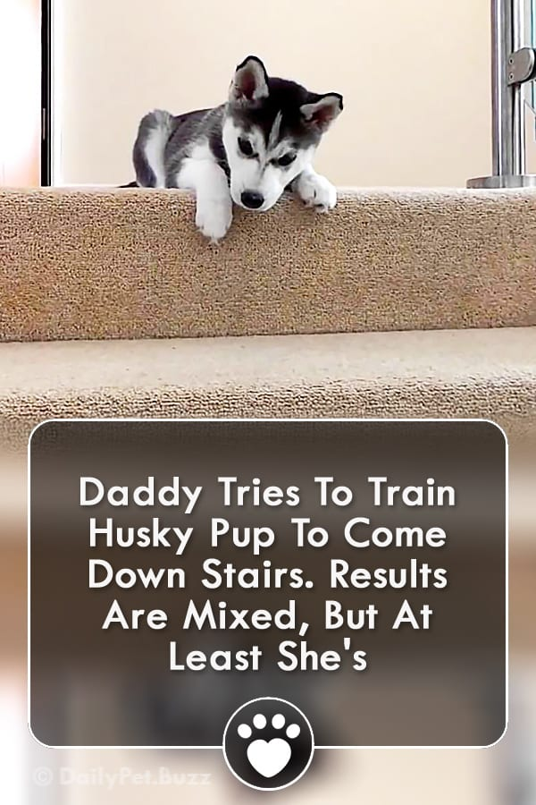 Daddy Tries To Train Husky Pup To Come Down Stairs. Results Are Mixed, But At Least She\'s